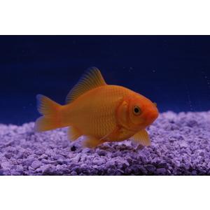 Poisson jaune 7-10 cm