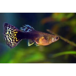 Guppy mâle Léopard ou Poecilia Reticulata multicolore 3,5 à 4,5 cm 47658