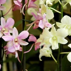 Orchidée Dendrobium sa-nook 1 branche. Pot 11 cm