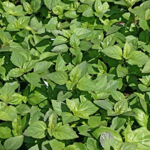 basilic marseillais le pot de 10 5 cm plantes aromatiques potager botanic. Black Bedroom Furniture Sets. Home Design Ideas
