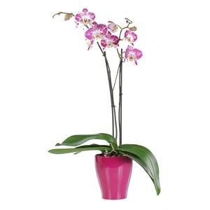 Orchidée Phalaenopsis + cache-pot. Pot 12 cm