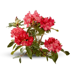 Rhododendron (RHODODENDRON HYB.VARIE) Le pot de 7.5 litres 492411