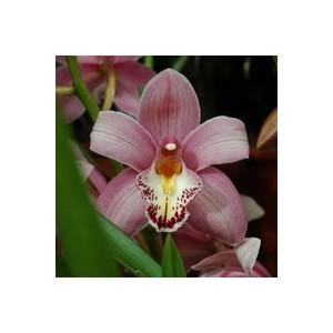 Orchidée Cymbidium 2/3 branches-pot14 cm et cache-pot