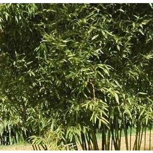 Bambou 18L Phyllostachys bissetii