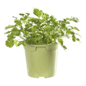 Coriandre. Le pot de 1 litre recyclé