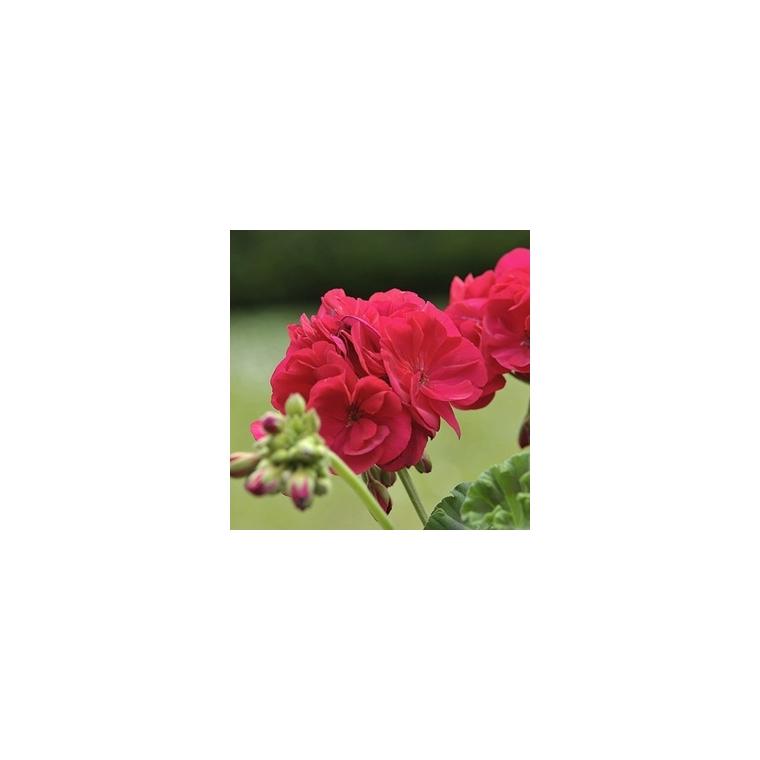 Géranium zonale.Le pot de 10, 5 cm