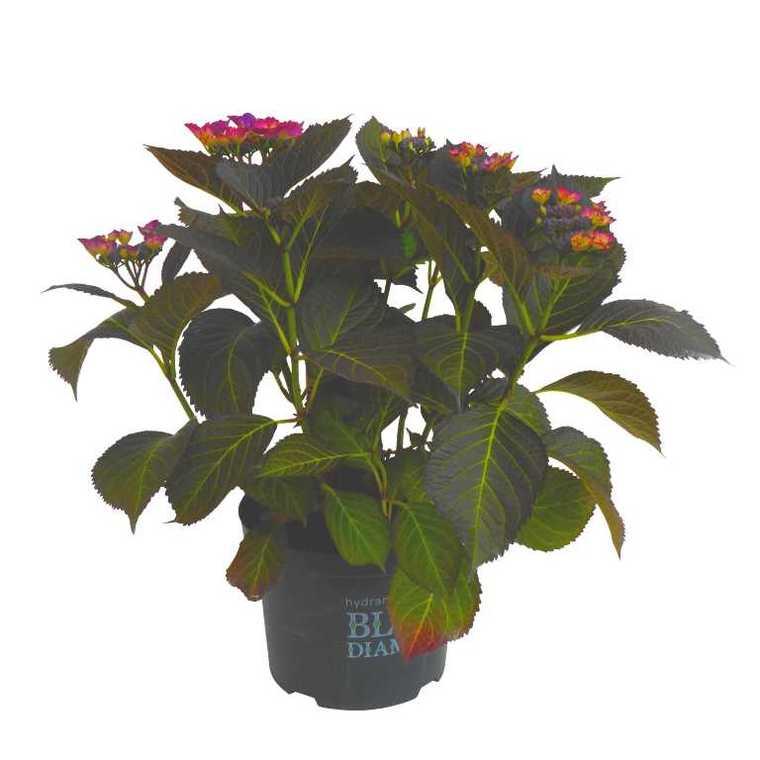 Hortensia à grandes fleurs Black Diamond en pot de 5 litres 401242