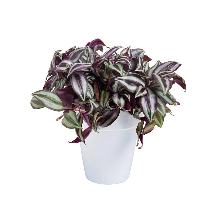Tradescantia Zebrina botanic® - Pot de 15 cm de diamètre 402384