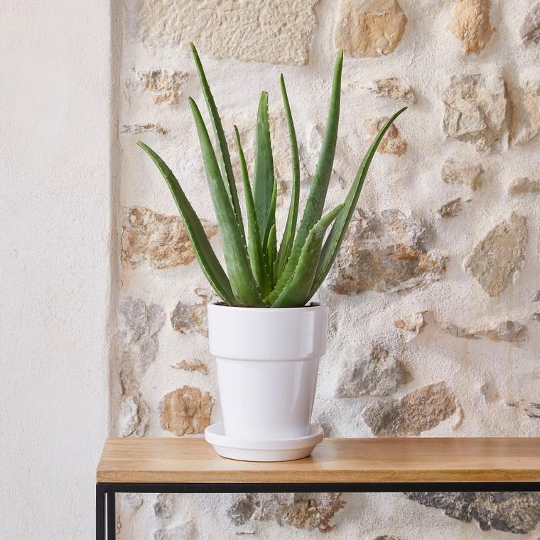 Aloe Vera botanic® - Pot de Ø 18 cm 402385