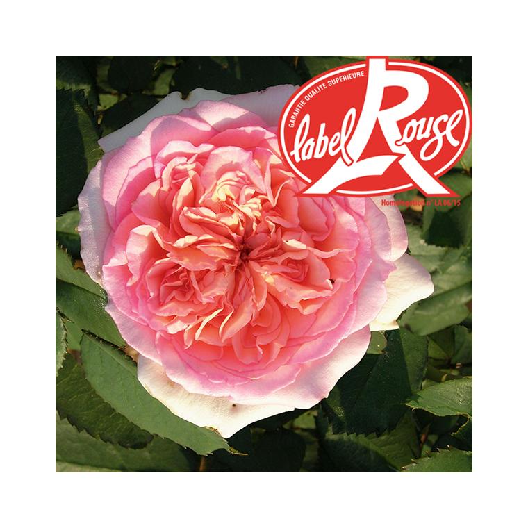Rosier George Sand® Label Rouge en pot de 5L 402797