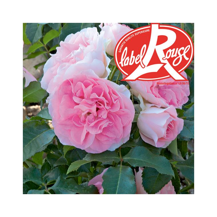 Rosier Jet Set® Label Rouge en pot de 5L 402804