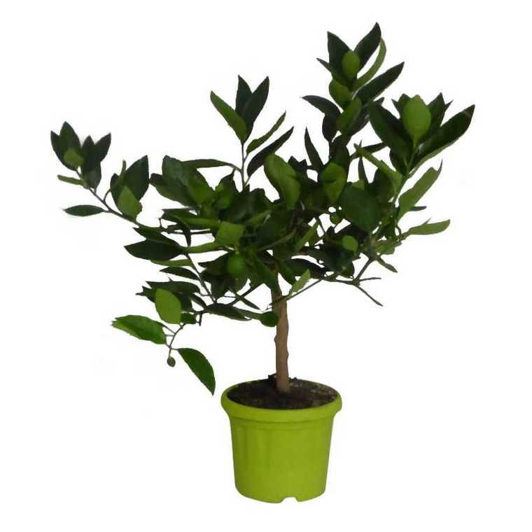 Citronnier à fleurs et petits fruits – Pot vert de 2L 402989
