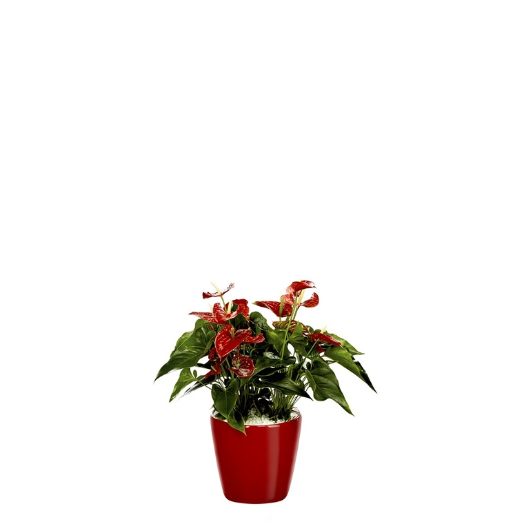 Anthurium et son pot Classico premium Ø 35 rouge 405280