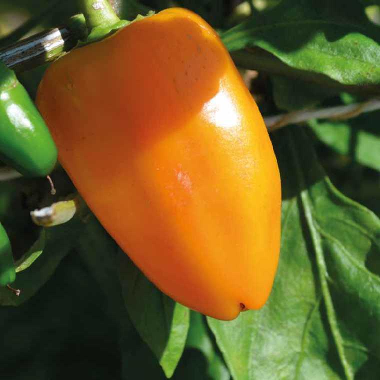 Mini poivron apero snacky orange special balcon bio. Le pot recyclé de 2.5 litres 406013
