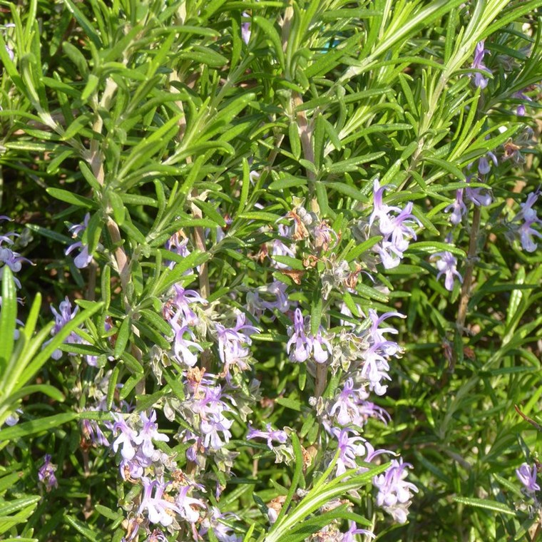 Rosmarinus Officinalis ou Romarin mini Tige bleu en pot de 9 L 411249