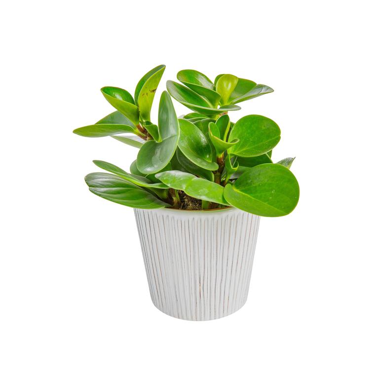 Begonia Venosa Ø 12 cm 412793