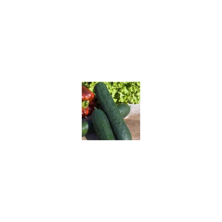 Plant Greffe Concombre Tanja. Le pot de 1 litre recyclé 414556