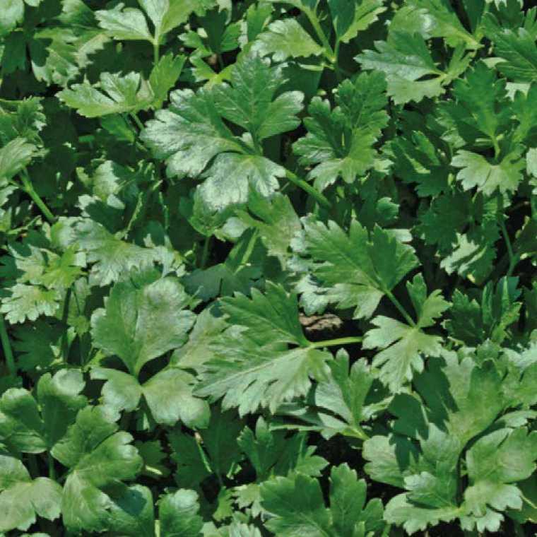 Persil Commun Dit Plat bio. La barquette de 6 plants 41474
