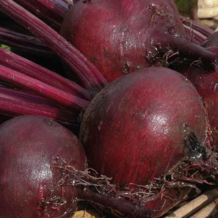 Betterave Rouge Bolivar bio. La barquette de 12 plants 41483