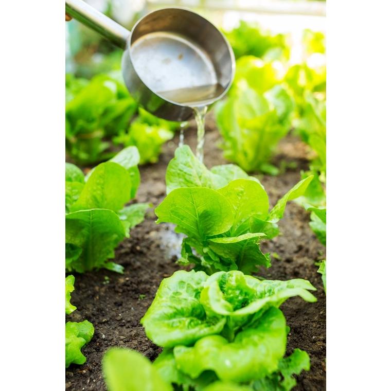 Laitue Batavia Verte Olana bio. La barquette de 12 plants 41486