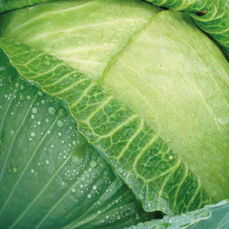 Chou À Choucroute Mégaton bio. La barquette de 3 plants 41494