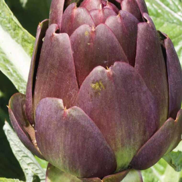 Artichaut Violet De Provence bio. Le pot compostable de 10.5 cm 41508