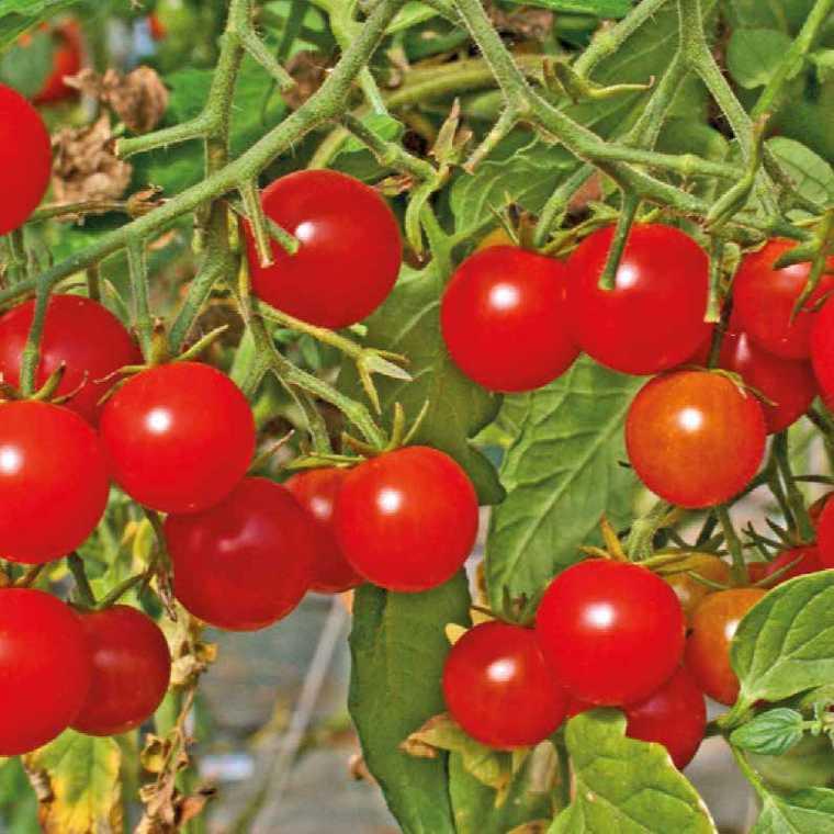 Tomate Cerise ronde Sweet Baby. Le pot compostable de 10,5 cm 41509