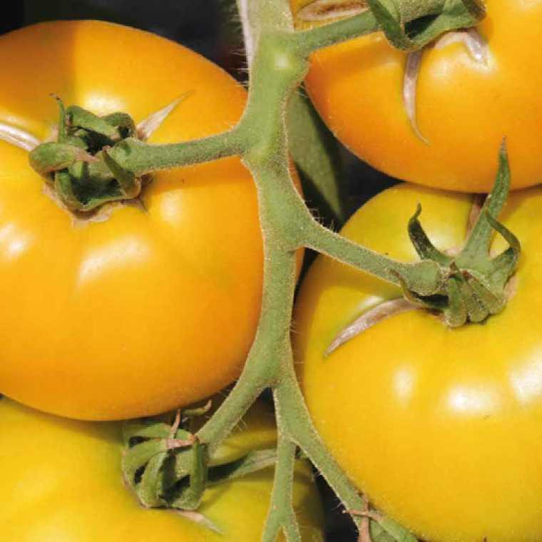 Tomate ronde Golden Boy bio. Le pot compostable de 10.5 cm 41510
