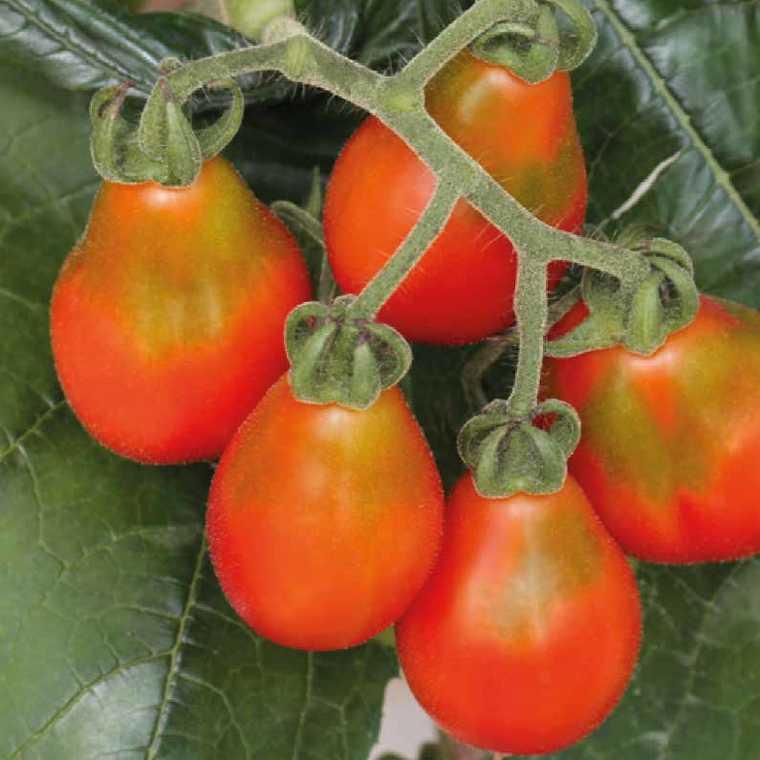 Tomate cerise poire rouge Poire Rouge Red Pear. Le pot compostable de 10,5 cm 41513