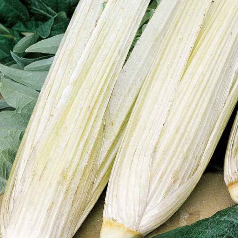 Cardon Blanc Amelioré bio. Le pot compostable de 10.5 cm 41519
