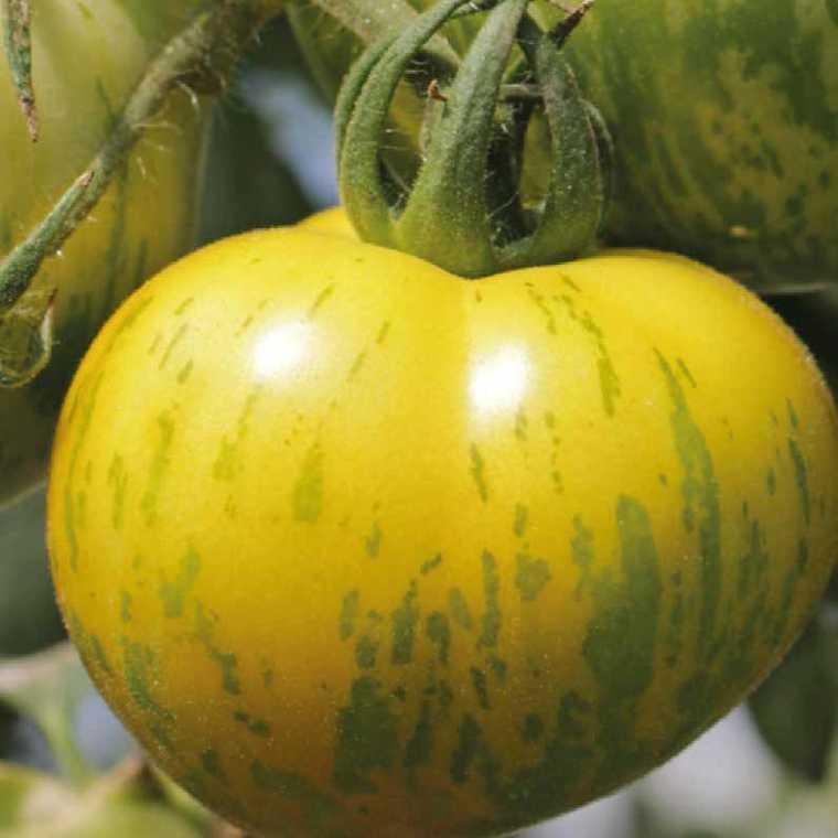Tomate ronde Green Zebra. Le pot compostable de 10,5 cm 41523
