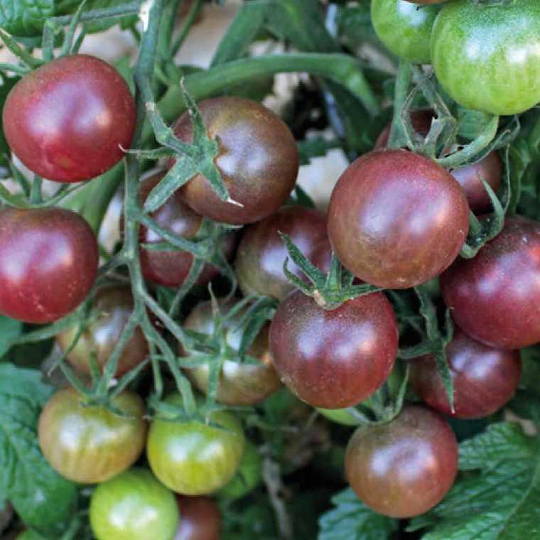 Tomate cerise ronde black cherry bio. Le pot compostable de 10.5 cm 41526