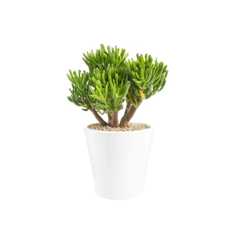 Crassula hobbit en pot blanc émaillé H 100 x Ø 20 cm 415717