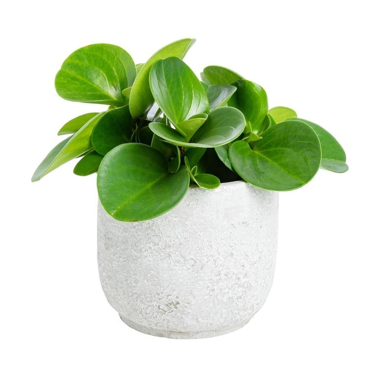 Plante graphique avec cache-pot Ø 12 cm 415825