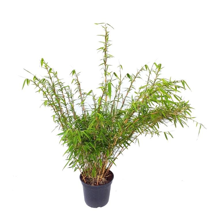 Bambou Fargesia Rufa 50/60 en pot de 5 L vert 420028