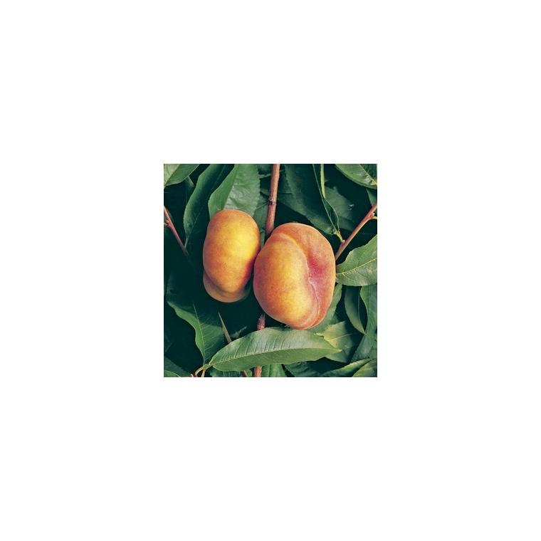 Pêcher Jalousia® racines nues forme gobelet 423319