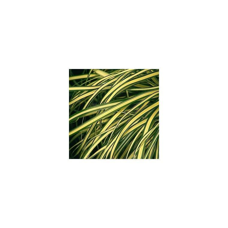 Carex Evergold. Le pot de 5 litres 424132