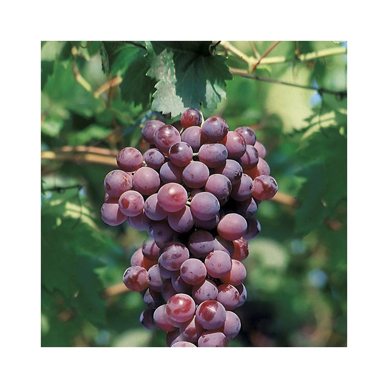 Vigne Cardinal Le pot de 2 litres 424276