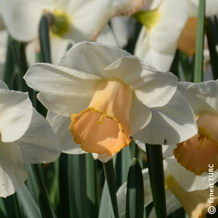 Bulbe narcisse à grande coupe salome blanc botanic® en vrac 431265