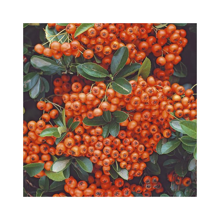 Buisson ardent Orange Glow en pot de 3 litres 440290