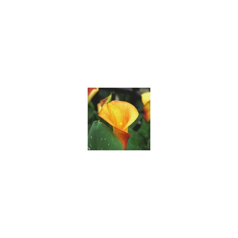 Arum  de couleur. Le pot diam 12 cm 44179