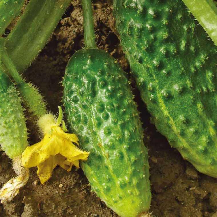 Cornichon Hocus bio. Le pot compostable de 10.5 cm 44378