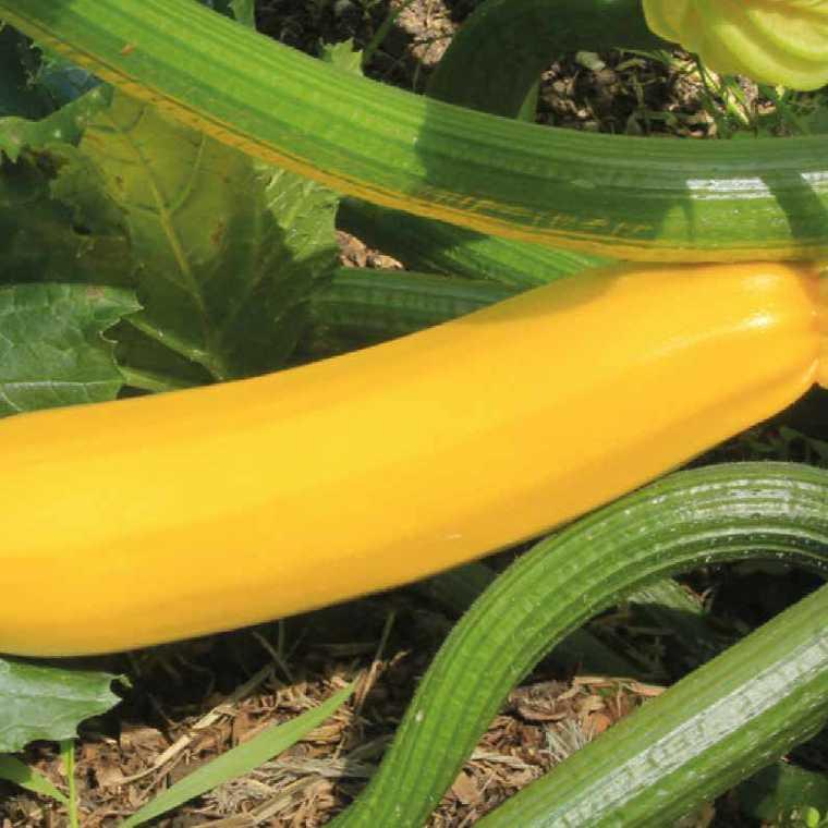 Courgette Jaune Gold Rush. Le pot compostable de 10,5 cm 44379