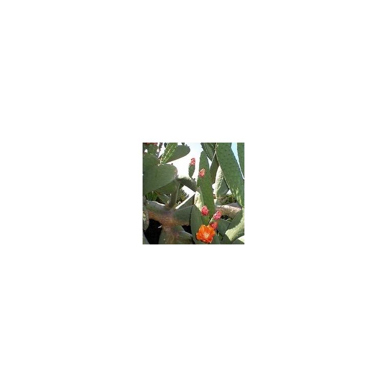 Opuntia Ficus Indica ou Figuier de Barbarie en pot de 7 L 445770