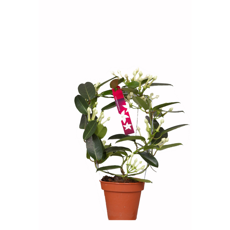 Stephanotis floribunda 445801