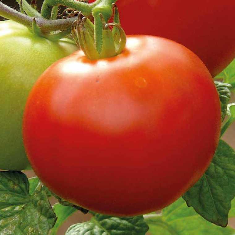 Tomate ronde  Cobra bio. Le pot compostable de 10.5 cm 447475