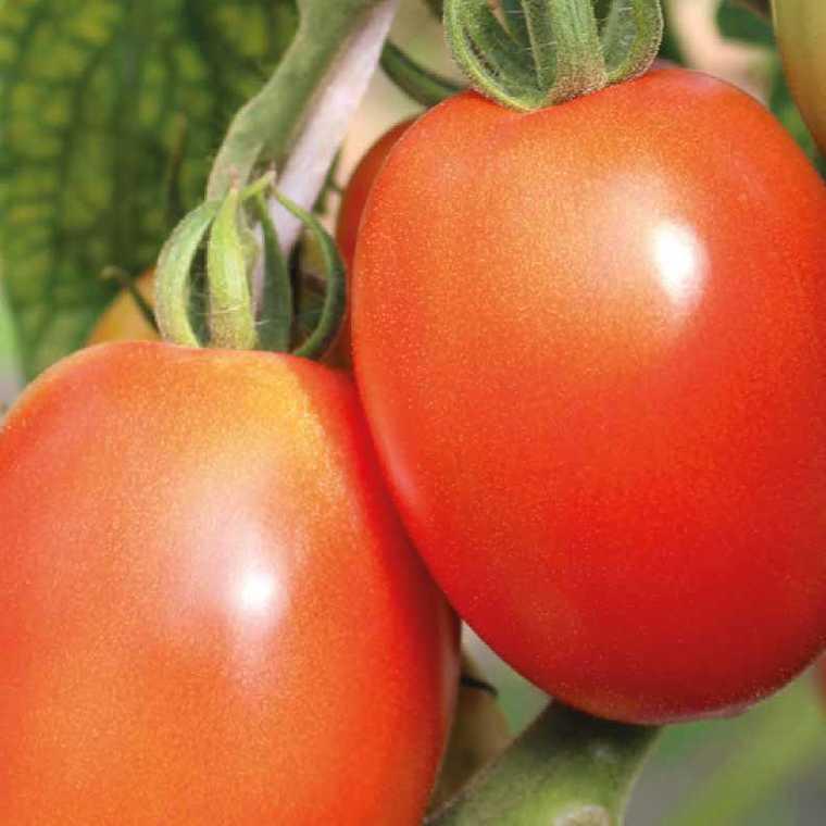 Tomate allongée Cencara. Le pot compostable de 10,5 cm 447476
