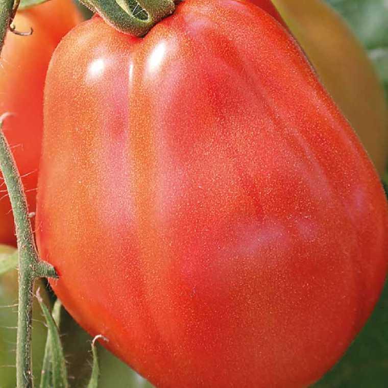 Tomate côtelée Corazon Greffée. Le pot de 1 litre recyclé 447471