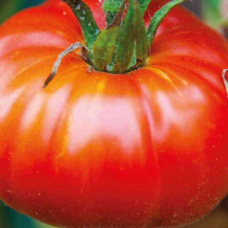Tomate côtelée Marbonne bio. La barquette de 3 plants 447430