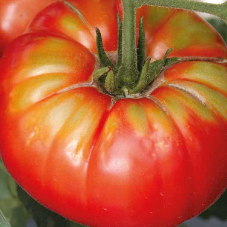 Tomate côtelée Buffalo Steak bio. Le pot compostable de 10.5 cm 447484